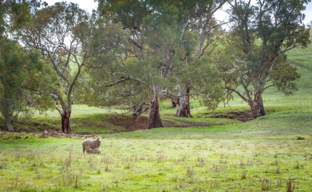 Sheep in the river redgums